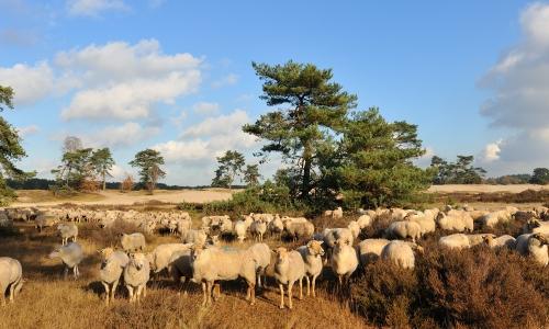 schapen-heide-hotels-salland-raalte